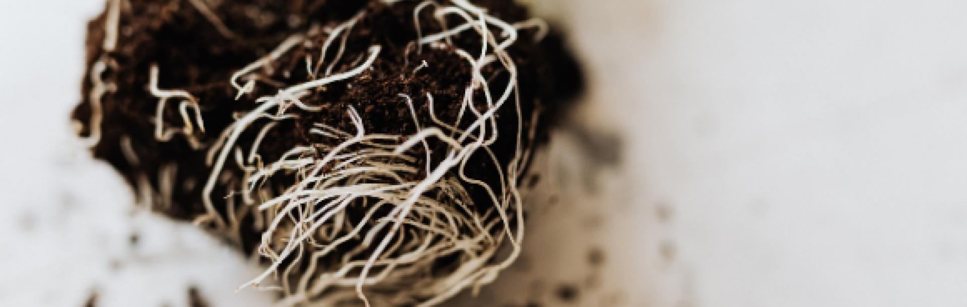 מחקר פורץ דרך גילה כי השורשים של הצמחים גדלים בתנועת הברגה – ממש כמו מקדחה החודרת לקיר. המאמר פורסם בכתב העת היוקרתי Nature Communications