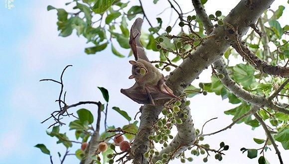 עטלף תל אביבי. צילום: יובל ברקאי