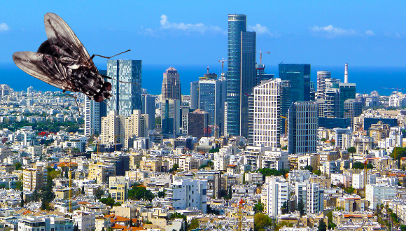 גם זחלי זבובים מעדיפים לגור בעיר הגדולה