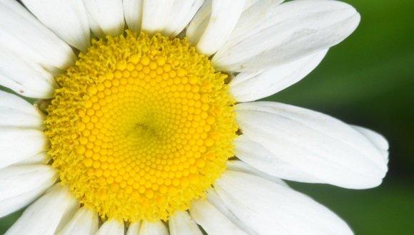 פרח הקמומיל הצהוב, מייצג מודל מתמטי