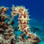 היכולת הנדירה של סוסני הים